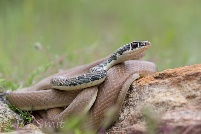 Dahl's Whip Snake / Slanke Toornslang (Platyceps najadum)