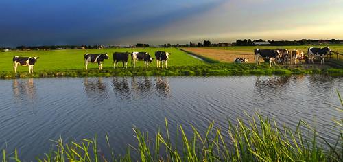 holland water netherlands dutch landscape canal cows nederland hazerswoude