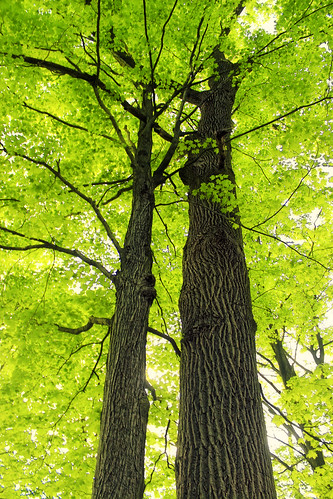 trees nature forest newjersey spring hiking branches foliage creativecommons trunks deciduous canopy maples audubonsociety warrencounty independencetownship newjerseyaudubonsociety acersaccharum palustrine sugarmaples temperatedeciduousforest palustrineforest oldfarmsanctuary