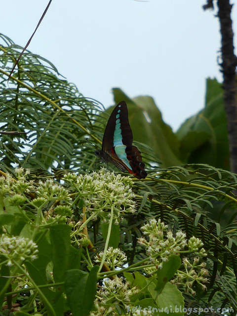Santubong 18 Common Bluebottle (Graphium sarpedon)