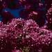 Griesbach Cherries 3