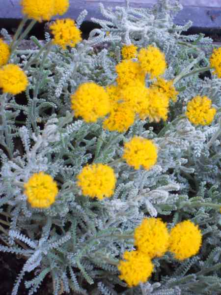 Santolina chamaecyparissus v 5