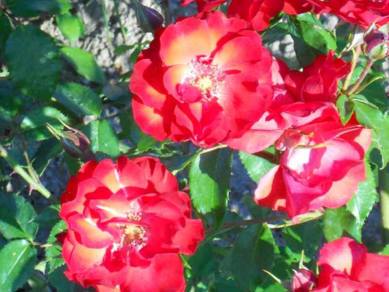 Rosa 'Sevillana' 3