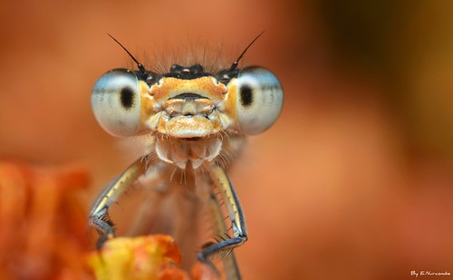 ~All's Well In Damselfly Land~