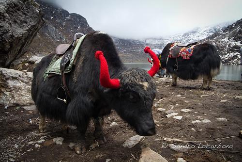 Yaks at the tsomgo lake