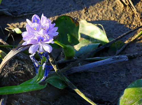 Camalote en flor