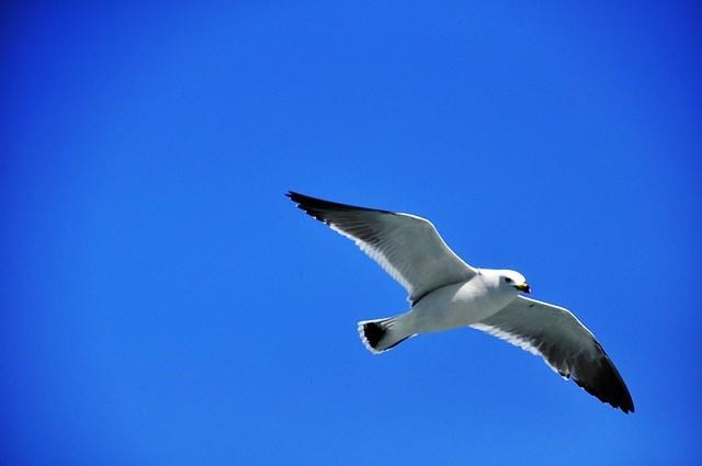 A Lone Gull...