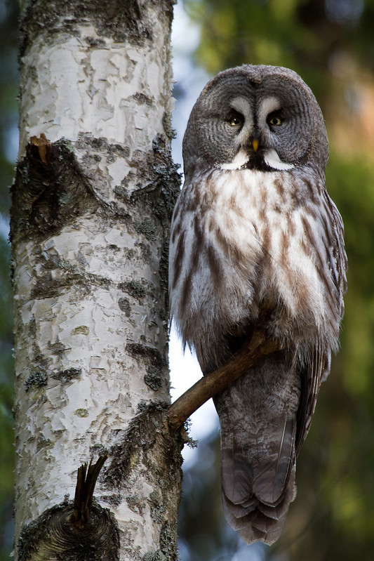 Lappuggla / Great Grey Owl (Strix nebulosa)