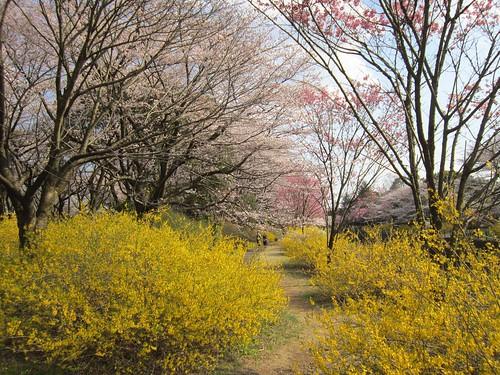 レンギョウと桜 2012年4月9日 by Poran111