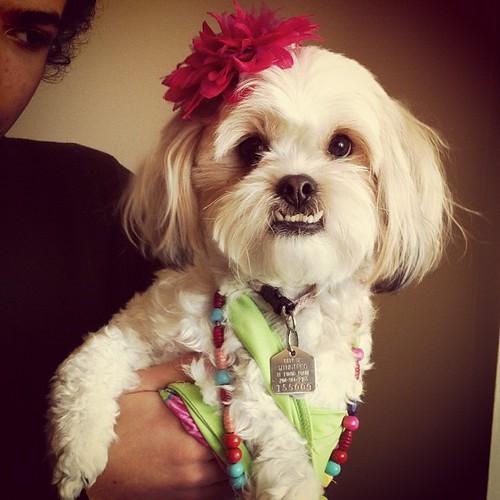 Fashionista puppy: courtesy of the girls.