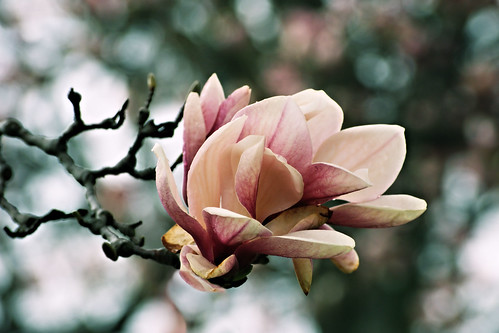 Magnolias in Rain by C.Duncan's Photography