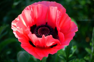 Mothers' Day Poppy