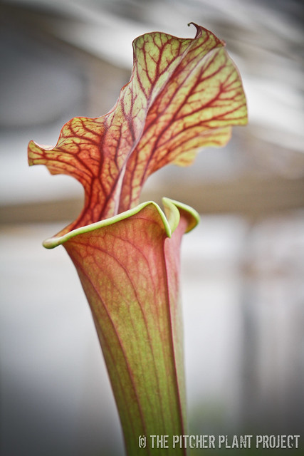 "Sarracenia ""Prince of Darkness"""