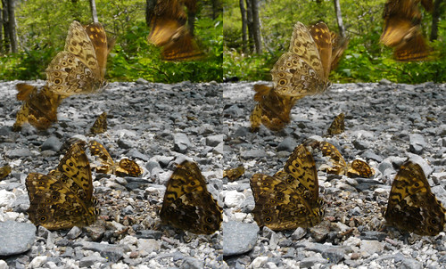 Neope niphonica, stereo parallel view