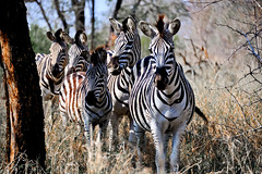 tiger(0.0), animal(1.0), zebra(1.0), mammal(1.0), fauna(1.0), wildlife(1.0),