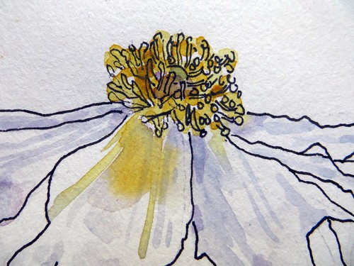 Matilija Poppies ~ in my sketchbook