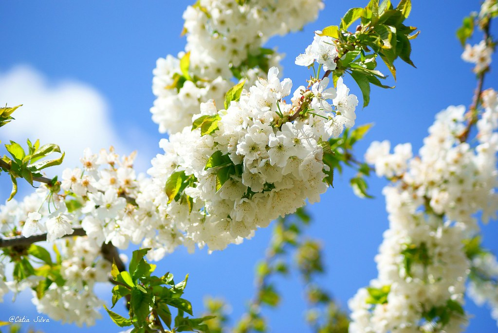 Extremadura-Valle del Jerte-Cerezo en Flor (8)