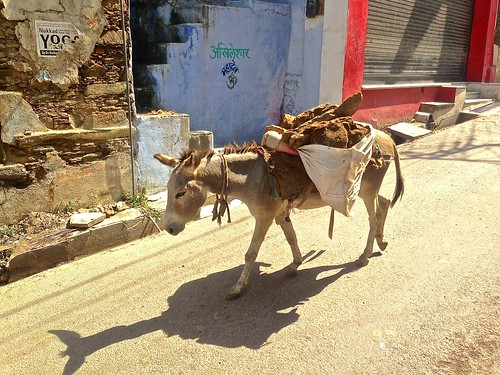 a mule at work in Udaipur