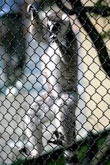 Ring-tailed Lemur - 23