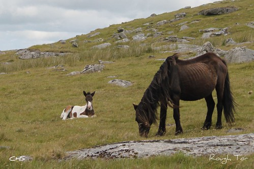 Two under fed ponies, Rough Tor, Cornwall by Stocker Images