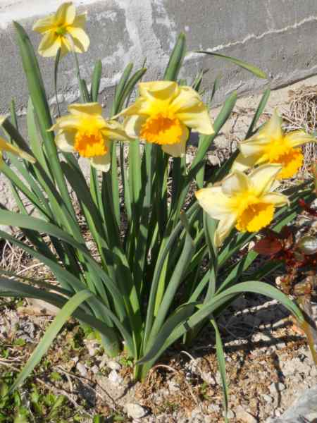 Narcissus trompeta hybridus v 1