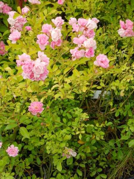 Rosa 'Fairy' 1