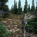 Western White Spruce - Photo (c) David Lawrence, some rights reserved (CC BY-NC-SA)