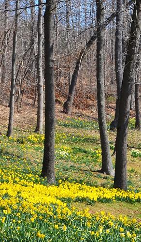 flowers usa spring connecticut daffodils meriden hubbardpark johnjmurphyiii 06451