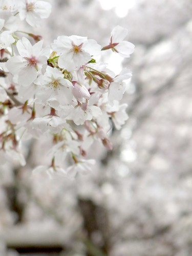桜(Cherry blossoms)