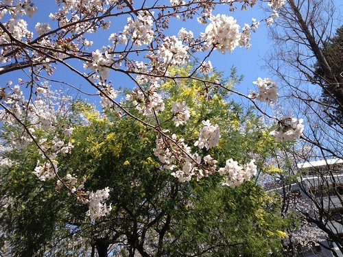 桜とミモザ。