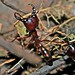 Small photo of Army Ants (Dorylus sp.)