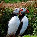 Puffin couple at Skomer Island. Explored 18. by ajay's visual~panorama©