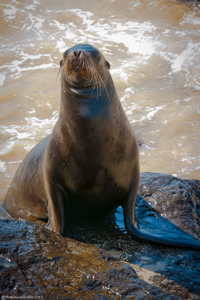sea lion posting for camera in Ecuador