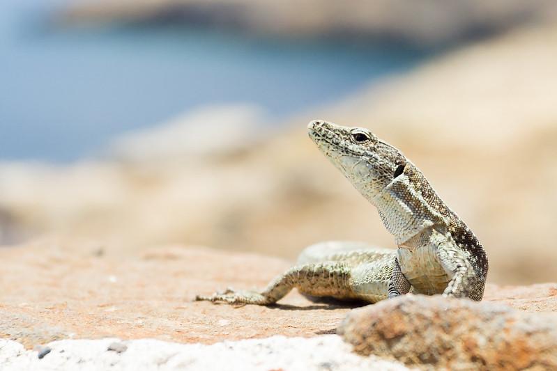 Lizard - Ponta de Sao Lourenco - Madeira