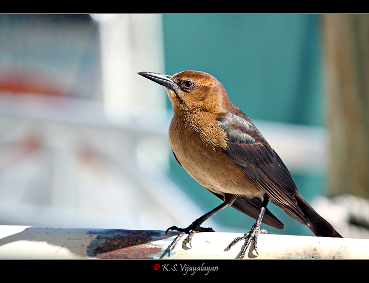 Great-tailed Grackle, USA
