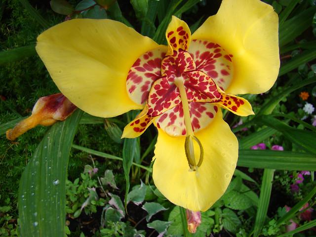 TIGRIDIA Pavonia jaune ouOEIL, Sony DSC-H9