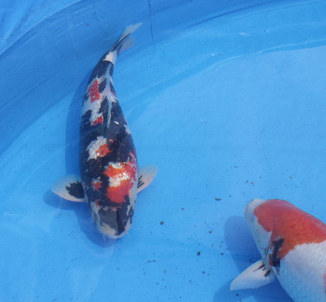 Pictures from worthing bkks 2011 show saturday koi and for Koi farm near me