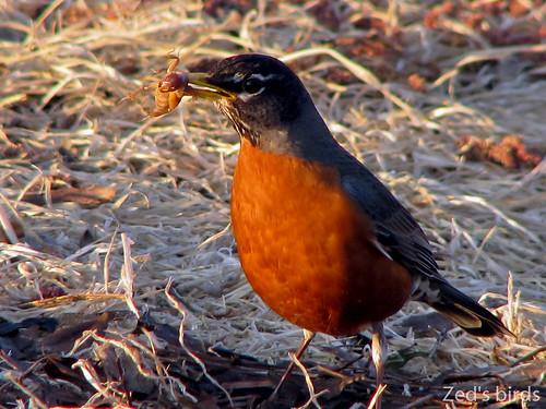 california food usa bird robin birds sunrise aves ave davis americanrobin passaro grabbing passaros turdusmigratorius daviscemetery zedsbirds