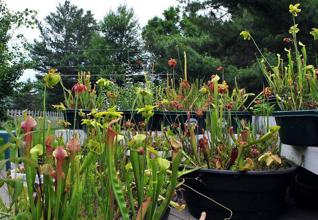 Sarracenia minibogs