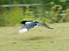 animal, wing, nature, fauna, beak, eurasian magpie, bird, wildlife,