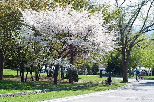 cherry blossoms 08