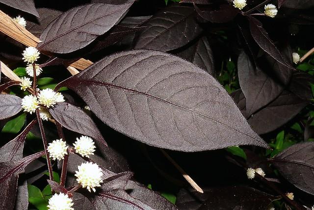 bad invasive rainforest pest plant Alternanthera brasiliana rubignosa Airlie Beach P1180901