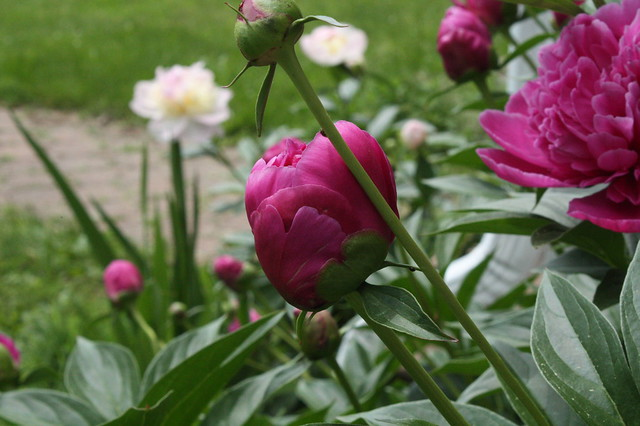 Yes, more peonies