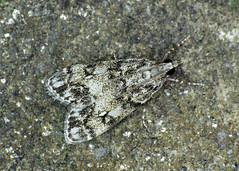 63.067 Little Grey - Dipleurina lacustrata