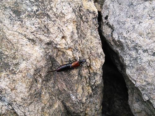 고마로브 집게벌레 | 견훤산성