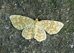1876 Small Yellow Wave - Hydrelia flammeolaria