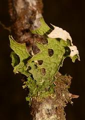 Lungwort (Lobaria pulmonaria), Fern Canyon, Humboldt County, California