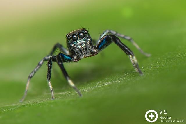 Electric Blue Banded Phintella- Phintella vittata ♂