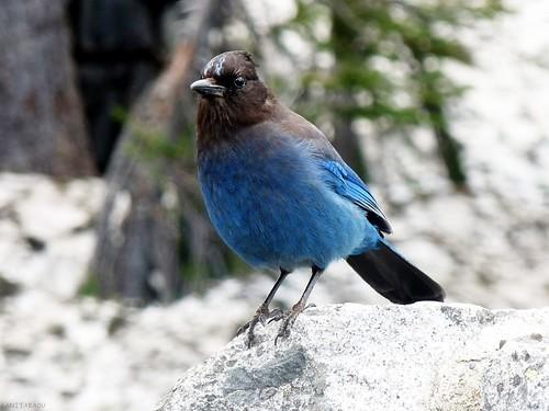 A Steller's Jay