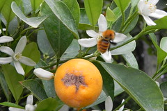 evergreen, shrub, citrus, flower, plant, flora, fruit, bitter orange,